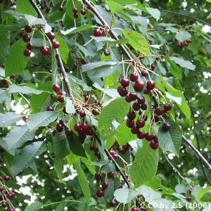 5-Prunus_avium
