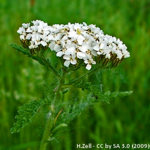 1-Achillea_millefolium
