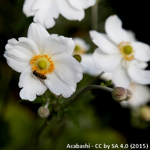 10-Anemone_hupehensis