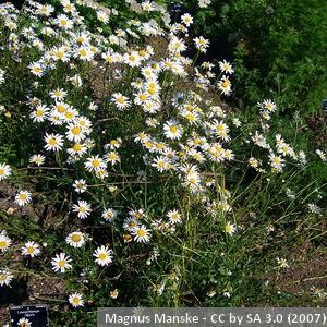 11-Leucanthemum_vulgare
