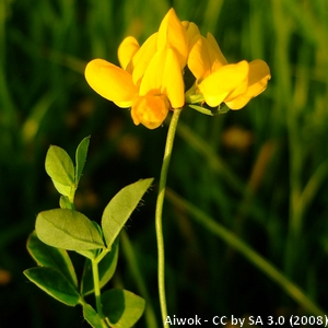 12-Lotus_pedunculatus