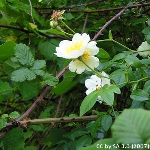 13-Rosa_arvensis