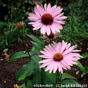 13-echinacea