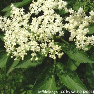 14-Sambucus_nigra