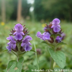 15-Prunella_vulgaris