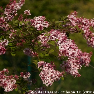 15-Syringa_microphylla