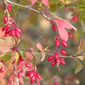 18-Berberis_vulgaris
