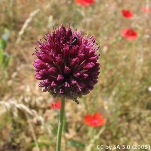 2-Allium_sphaerocephalon
