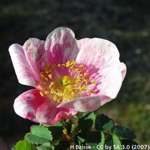 25-Rosa_pimpinellifolia