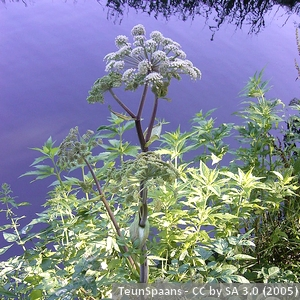3-Angelica sylvestris