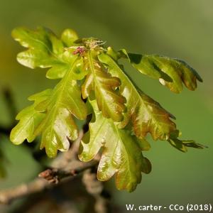 3-Quercus robur