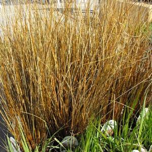 34-Carexbuchananii