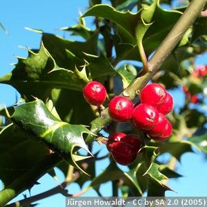 6-Ilex-aquifolium