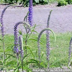 8-Veronica-longifolia