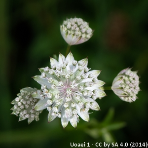 9-Astrantia major