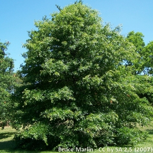 quercus_palustris